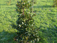 Ilex 'Ampfield King'1.09.jpg_s.jpg
